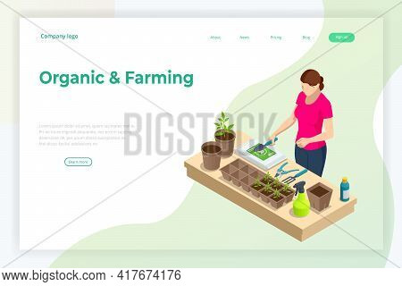 Isometric Seedling Transplanting Process. Young Vegetable Seedlings Of Transplanting Into Peat Pots