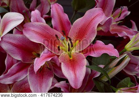 Lilium Robinna Flowers Growing In A Garden