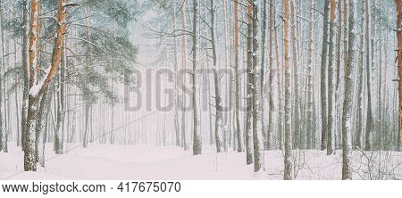 Snowy White Forest In Winter Frosty Day. Snowing In Winter Frost Woods. Snowy Weather. Winter Snowy