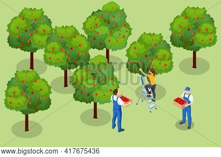 Isometric Apple Orchard, Ripe Fruits Hanging On Branch. Assembling The Harvest Of Apples. Orange Pro