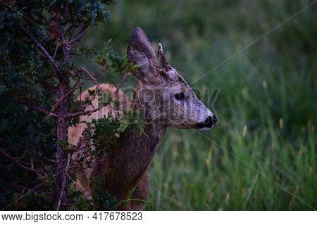 Nature Deer. Bambi Fawn. Roe Deer, Capreolus. Beautiful Wildlife Buck.