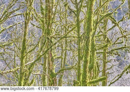 Relict Trees, Covered With Moss And Lichen, In The Yew And Boxwood Grove Of The Caucasian Biosphere