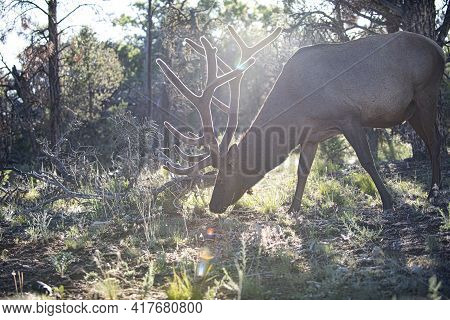 Nature Animals Concept. Capreolus. White-tailed Deer Fawn. Roe. Beautiful Wildlife Buck.