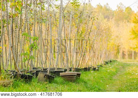 Nursery Deciduous Plants In The Autumn Sunny Day. Young Stems Of Deciduous Trees Intended For Transp