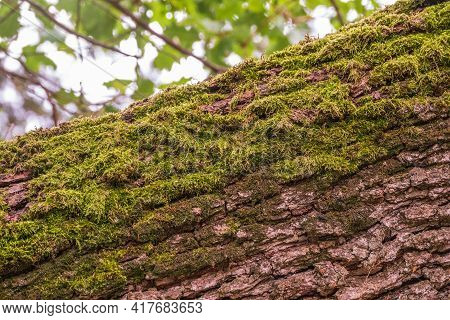 Soft Thick Moss In The Forest On Fallen Tree Trunk. Soft Moss Carpet. Detailed Image Of Moss. Backgr