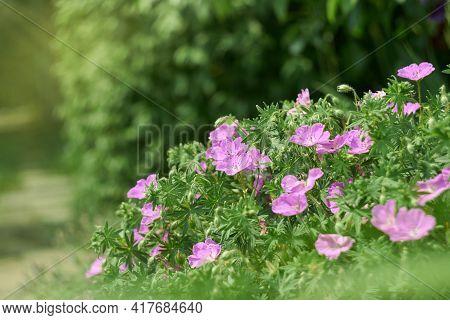 A Profusion Of Delicate, Magenta-pink, Upward-facing Blossoms Geranium Sanguineum (bloody Cranesbill