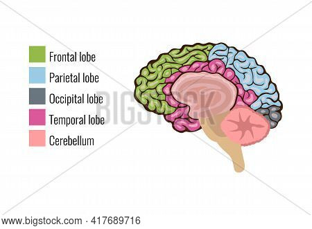 Human Brain Anatomy Function Area Mind System Infographic Composition With Text Legend Keys And Colo