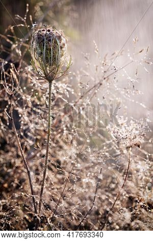 An Interesting Dry Plant And Rain In The Meadow