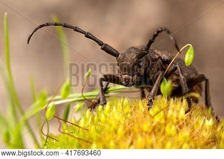 Brown Weaver Beetle On The Yellow Moos