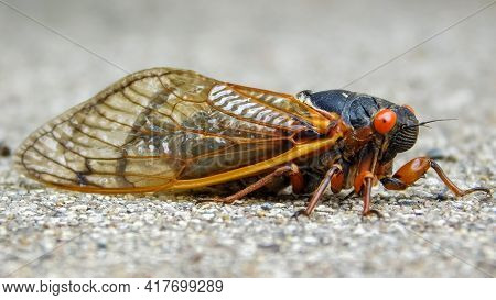 Periodical Cicada (magicicada Septendecim) , Northern Illinois Sub-brood (part Of Marlatt's Xiii)