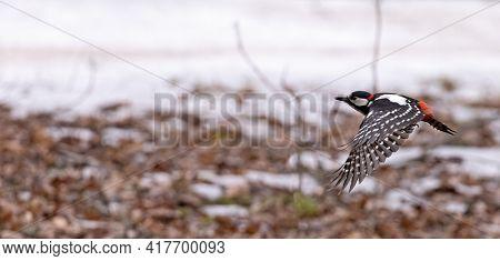 great spotted woodpecker in flight on winter background
