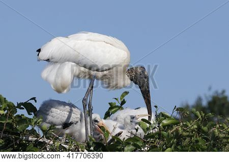 A Wood Stork - Mycteria Americana - With Chicks Tends It's Nest In A Florida Rookery