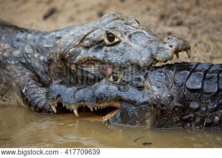 Closeup Of Two Black Caiman (melanosuchus Niger) Fighting  Jaws Locked Pampas Del Yacuma, Bolivia