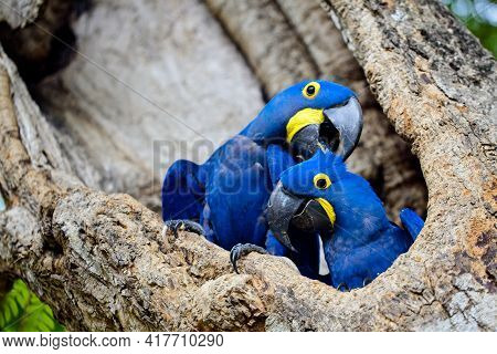 Closeup Of Two Blue Hyacinth Macaws (anodorhynchus Hyacinthinus) Nesting In Tree Hollow In Transpant