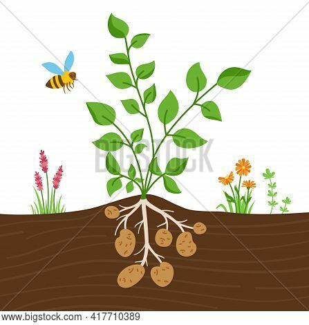 Potato Plant With Leaves Tubers Cartoon Illustration. Planting Potatoes. Agricultural Infographic In
