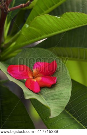 Close Up Red Plumeria Flower Falling On Green Leaf In Vertical Frame