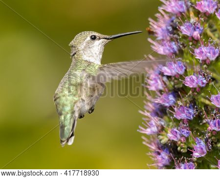 Anna's Hummingbird Adult Female Feeding On Pride Of Madeira Nectar. Palo Alto Baylands, Santa Clara