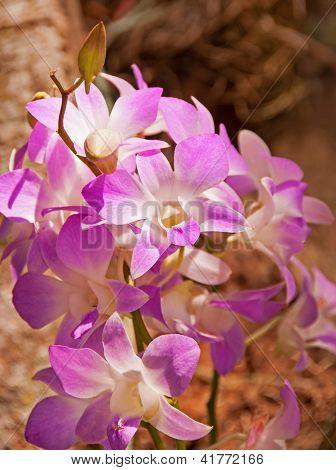 Orchid dendrobium