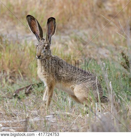 Alert Black-tailed Jackrabbit Showing Its Long Ears.  Santa Clara County, California, Usa.