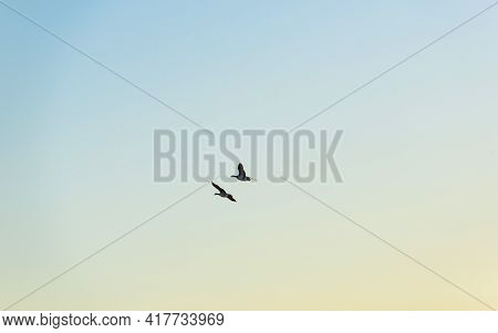 Flock Of Geese Flying In A Bright Blue Yellow Sky Over Nature In  Sunlight At Sunrise In Spring, Alm