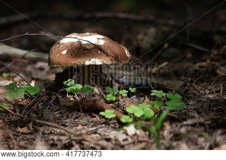 Porcini Mushroom (boletus Edulis) In The Forest