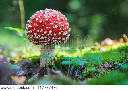 Fly Agaric (amanita Muscaria) Poisonous Mushroom In The Forest