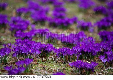 Purple Crocus Flowers In The Early Spring In Bernardinai Garden Of Vilnius, Lithuania. Shallow Depth