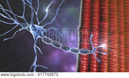 Motor Neuron Connecting To Muscle Fiber, 3d Illustration. A Neuromuscular Junction Allows The Motor