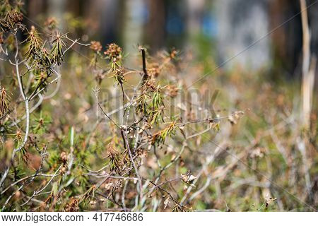 Juniper Branches Close Up. Evergreen Juniper Plant, Cypress Branches, Leaves With Seeds Close-up. Ga
