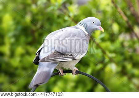 Common wood pigeon, columba palumbus, perched on a garden railing with lush green foliage background. Hampshire, UK