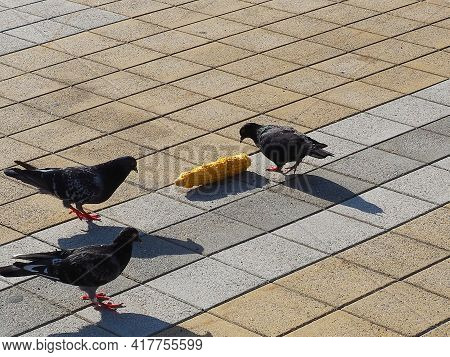 Three Gray Pigeons Pecking A Boiled Corn Cob On A Granite Paving Slab On A Sunny Day