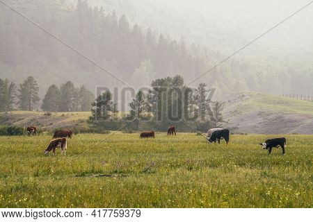 Beautiful Scenery With Calves And Cows Grazing In Meadow In Mountain Countryside. Scenic Green Mount