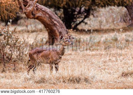 Female Of Endemic Very Rare Mountain Nyala, Tragelaphus Buxtoni, Big Antelope In Natural Habitat Bal