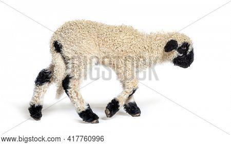 Profile of a lovely Lamb Valais Blacknose sheep three weeks old walking alone away