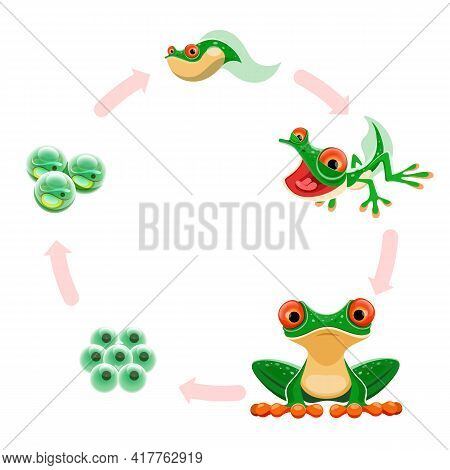 Frog Life Cycle. Amphibian Growth Development Stages Eggs Or Frogspawn, Embryos, Tadpole, Froglet, A