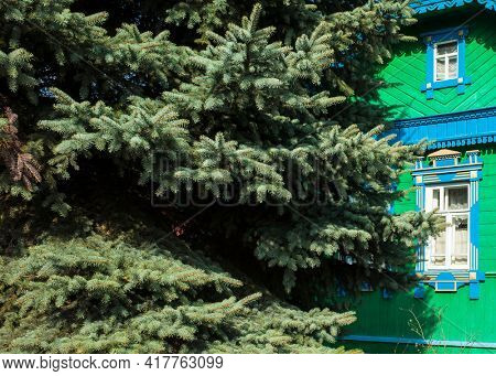 Fluffy blue spruce tree growing next to the old decorated ornamental carved vintage wooden rural house in Suzdal, Vladimir region, Russia. Nature pattern, Russian traditional folk style architecture