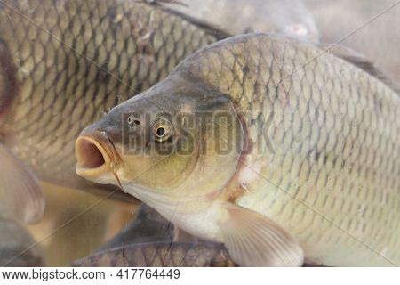 Carp Swimming In Water With Its Mouth Open. Flock Of Fish, Freshwater Carp In A Store Aquarium