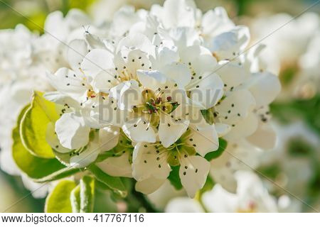 Branch Of A Fruit Tree In Spring. Many White Opened Flowers Of An Apple Tree In Sunshine. Central Vi