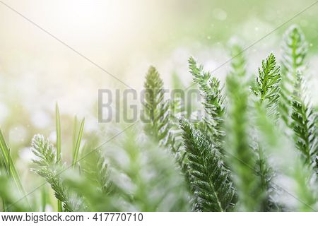 Green Grass On A Meadow In The Morning Light In Spring Or Summer Outdoors Close-up. An Image Of Puri