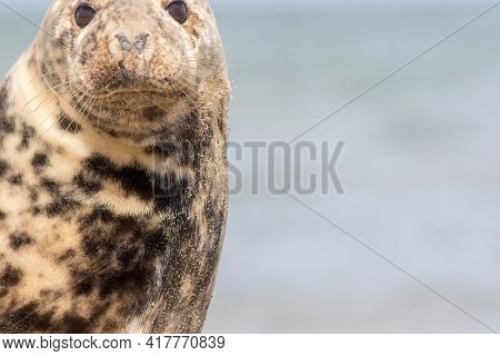 Cute Animal Close-up. Wild Grey Seal Wildlife And Nature Image With Copy-space. Cuddly Spotty Cream