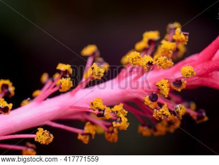 Macro Photo Of The Stamen Of The Hibiscus Flower Includes Anther And Filament With Selective Focus.