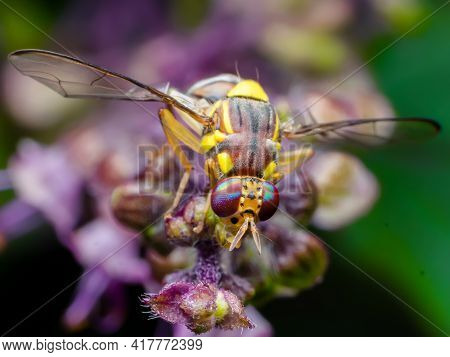 The Melon Fly Is A Fruit Fly Of The Family Tephritidae. It Is A Serious Agricultural Pest. Used Sele