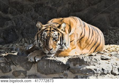 Close-up Portrait Of A Siberian Tiger. Imposingly Lies And Rests. A Beautiful Powerful Large Tiger (