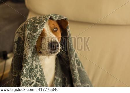 Indoor Portrait Of Basenji Dog Hiding Under Coverlet While Playing In Hide And Seek Game