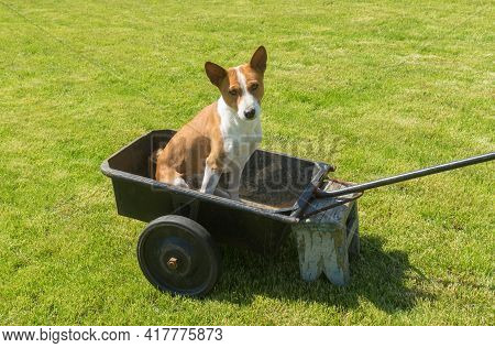 Young Basenji Dog Sitting In Metal Basket Of Wheel Barrow And Asking With  Pleading Look  Master Wou