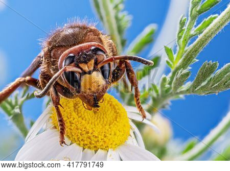 Macro shot of hornet insect eating nectar of daisy flower. Top margin of the head and all body details are well seen on the picture.