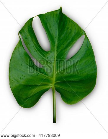 Single Tropical Jungle Monstera Plant Leaves Isolated On White Background