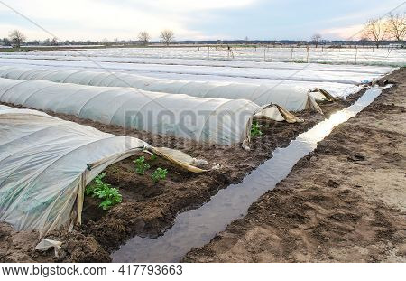 Open Tunnel Rows Of Potato Bushes Plantation And An Irrigation Canal Filled With Water. Growing Earl