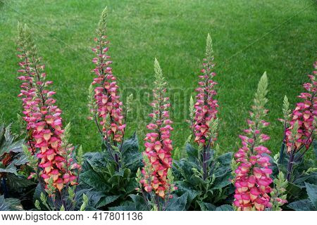 Beautiful Hybrid Foxglove 'digiplexis Illumination Flame' Upright Flowers