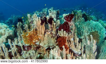 Underwater Photography, A Cluster Of Soft And Hard Corals With Sea Lilies Attached To Them. Philippi